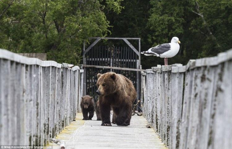 bear bridge